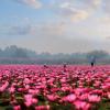 Pink Lotus Sea